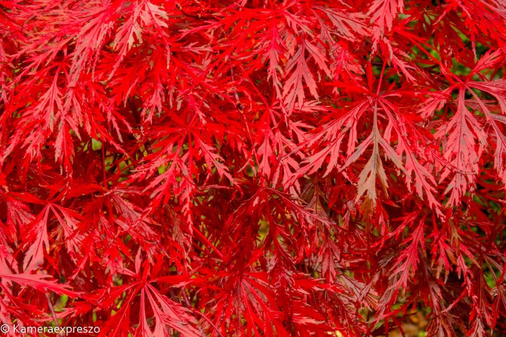 Rob Wander Fotografie zien kunst Herfst Japanse Esdoorn rood kameraexpreszo.nl keznl