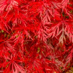 portfolio Rob Wander Fotografie Japanse esdoorn herfst keznl