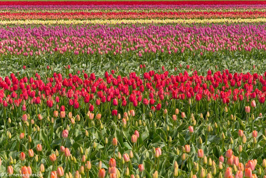 Hollands landschap Bloembollen Keukenhof Zijpe tulpen Rob wander Fotografie kameraexpreszo.nl