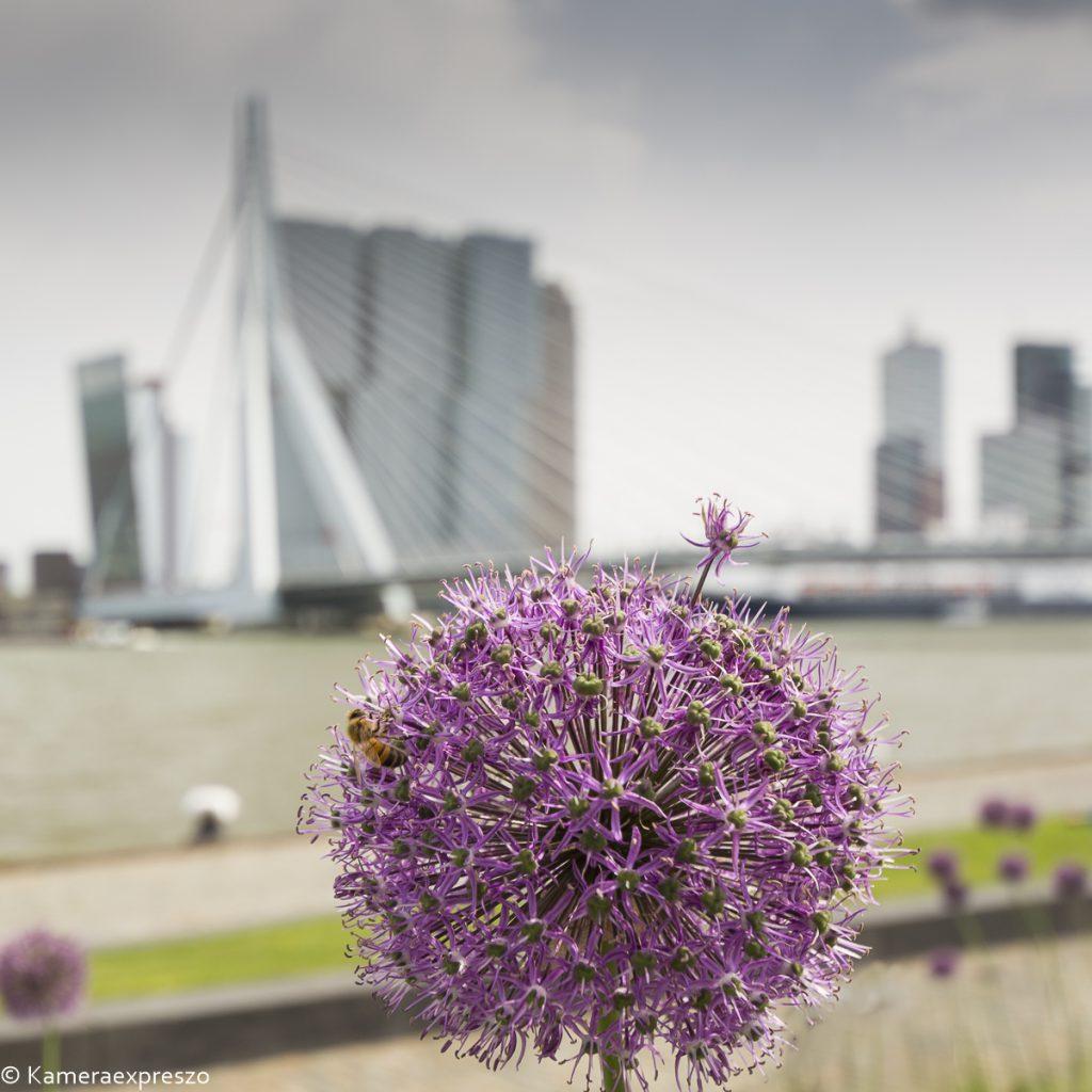 rob wander fotografie kameraexpreszo.nl zien Boompjes Maas Rotterdam Zwaan Erasmusbrug bloem jaap valkhoff langs de maas